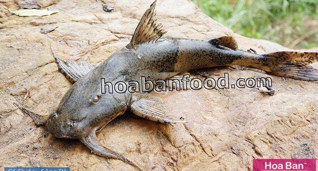 Cá Chiên Sông Đà - https://hoabanfood.com